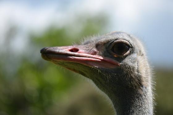 Oi avestruz
