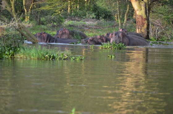 Oi hipopótamos <3